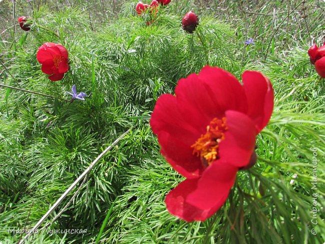 Всем заглянувшим - тёплый, весенний привет! Очень хочеться поделиться с вами нашей весенней красотой и весенним настроением... Очень хочеться рассказать о наших весенних прогулках и находках.... фото 45