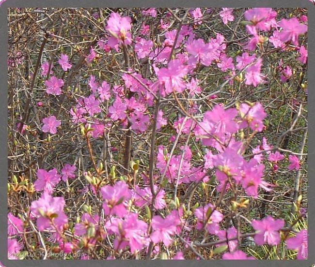 Багульник (рододендрон) цветет... фото 1