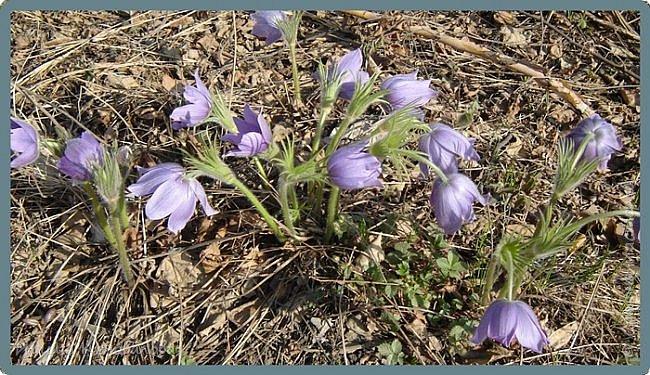 Багульник (рододендрон) цветет... фото 11
