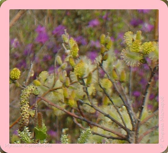 Багульник (рододендрон) цветет... фото 7