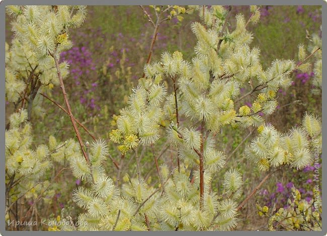 Багульник (рододендрон) цветет... фото 8