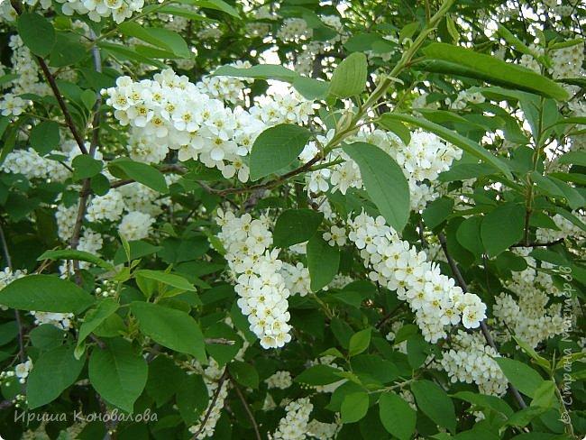 Багульник (рододендрон) цветет... фото 33