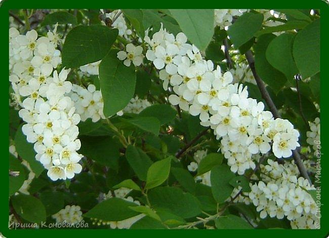 Багульник (рододендрон) цветет... фото 19