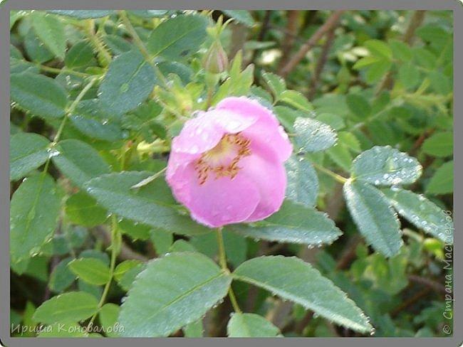 Багульник (рододендрон) цветет... фото 16