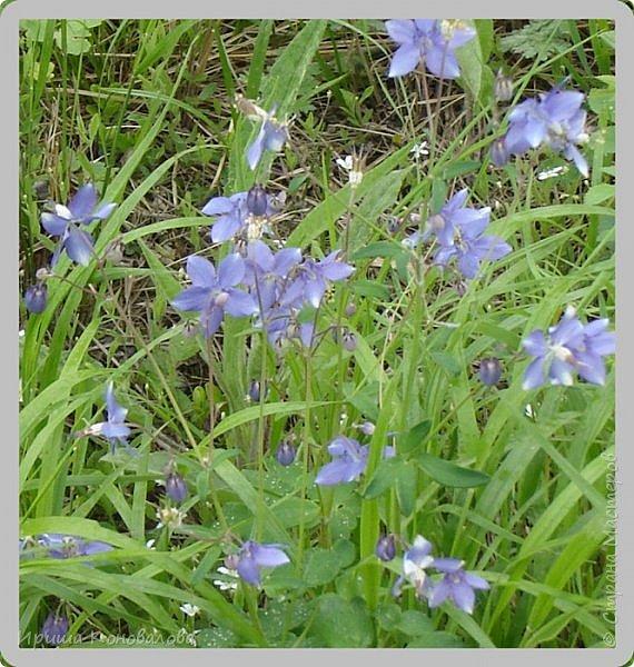 Багульник (рододендрон) цветет... фото 12