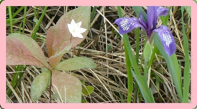 Багульник (рододендрон) цветет... фото 26