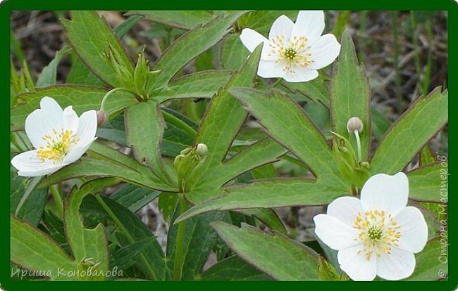 Багульник (рододендрон) цветет... фото 27