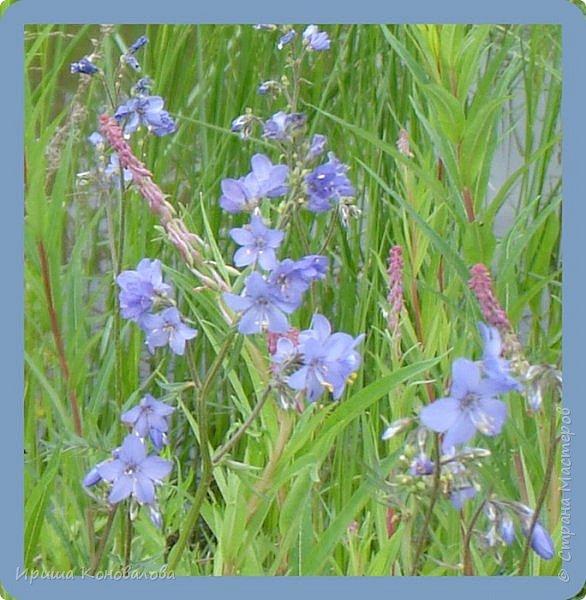 Багульник (рододендрон) цветет... фото 13