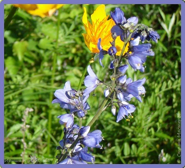 Багульник (рододендрон) цветет... фото 14