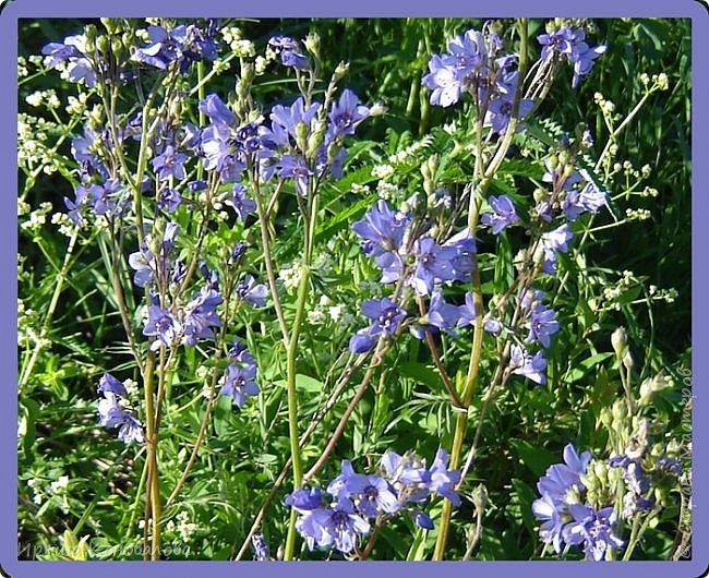 Багульник (рододендрон) цветет... фото 15