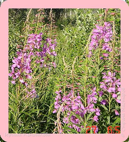 Багульник (рододендрон) цветет... фото 28