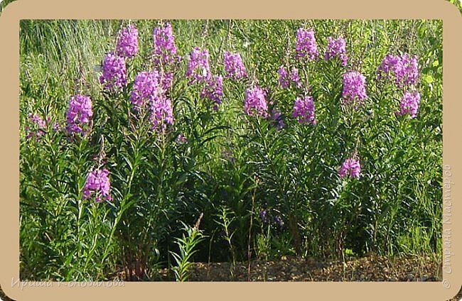 Багульник (рододендрон) цветет... фото 29
