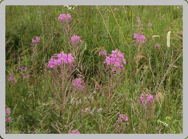 Багульник (рододендрон) цветет... фото 30