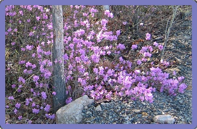 Багульник (рододендрон) цветет... фото 5