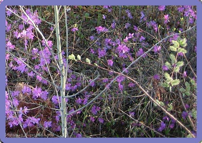 Багульник (рододендрон) цветет... фото 6