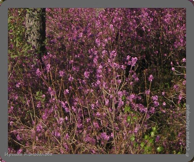 Багульник (рододендрон) цветет... фото 3