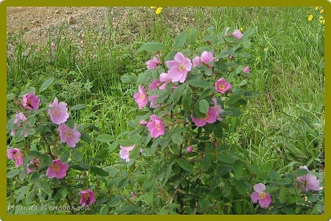 Багульник (рододендрон) цветет... фото 18
