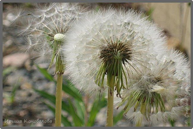 Багульник (рододендрон) цветет... фото 32