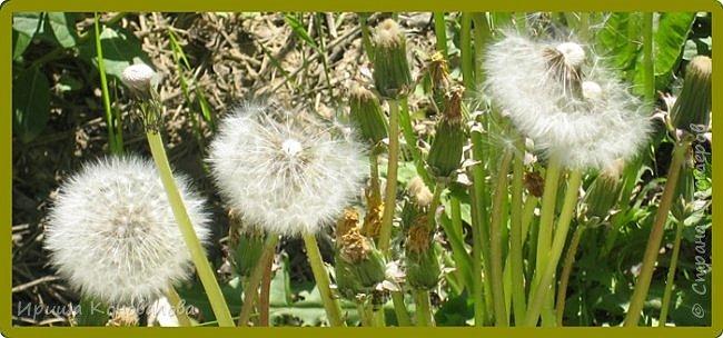 Багульник (рододендрон) цветет... фото 31