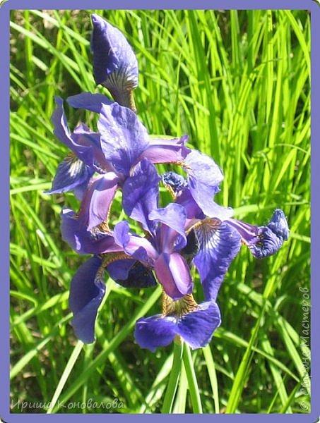 Багульник (рододендрон) цветет... фото 23