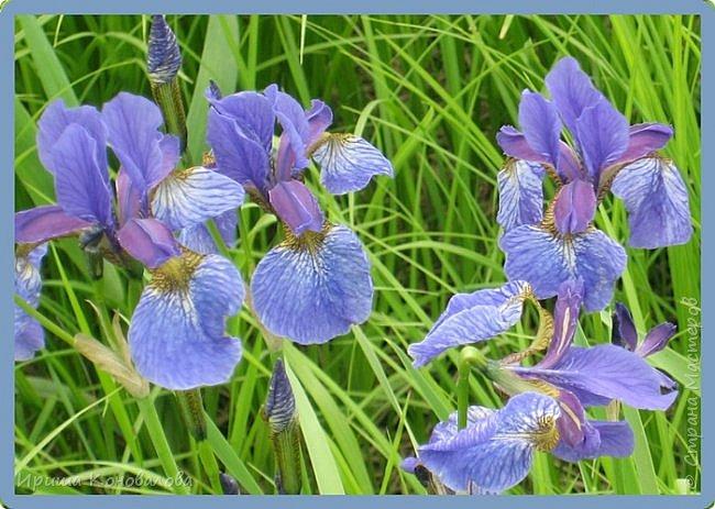 Багульник (рододендрон) цветет... фото 25