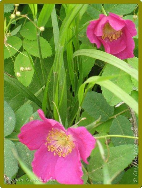 Багульник (рододендрон) цветет... фото 17