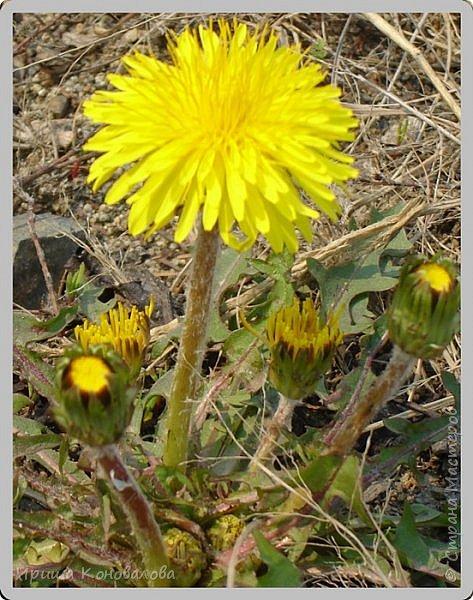 Желтые лилии...Много, красиво... фото 19