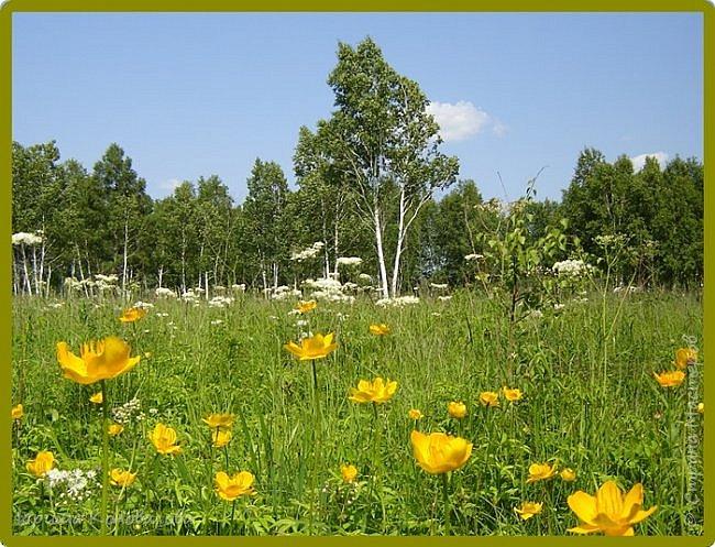 Желтые лилии...Много, красиво... фото 9