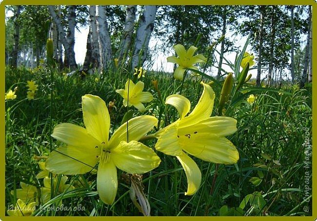 Желтые лилии...Много, красиво... фото 3