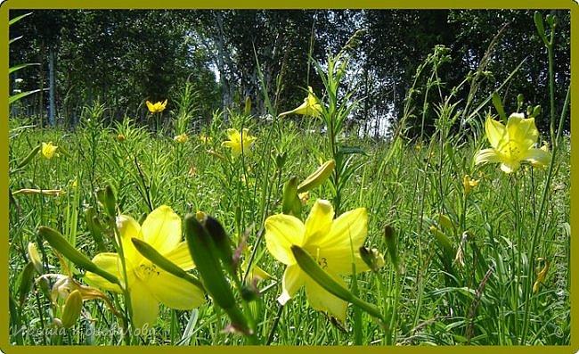 Желтые лилии...Много, красиво... фото 6