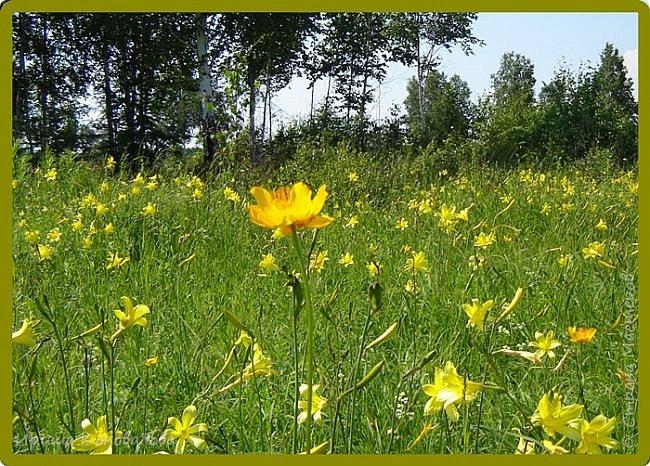 Желтые лилии...Много, красиво... фото 10