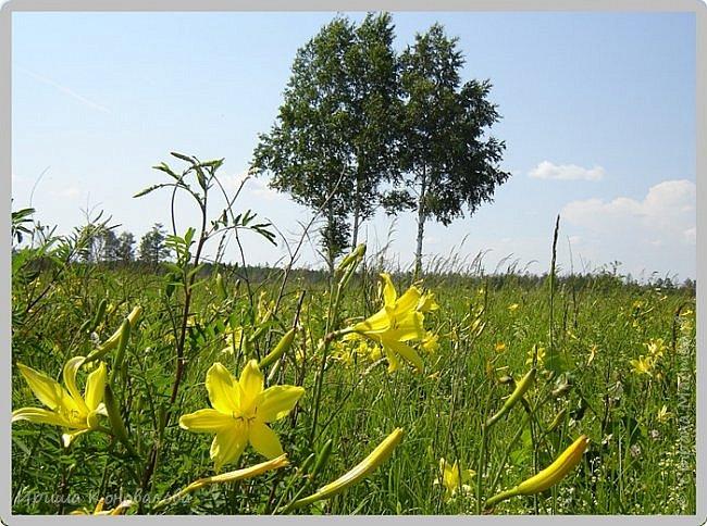 Желтые лилии...Много, красиво... фото 2