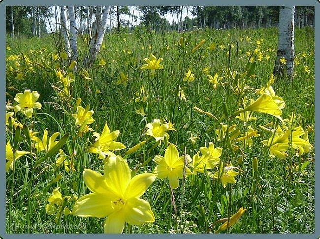 Желтые лилии...Много, красиво... фото 1