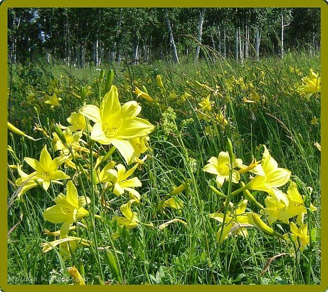 Желтые лилии...Много, красиво... фото 5