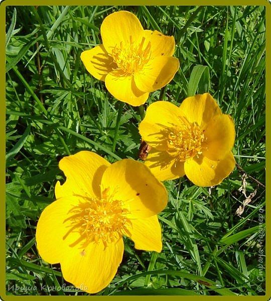 Желтые лилии...Много, красиво... фото 8