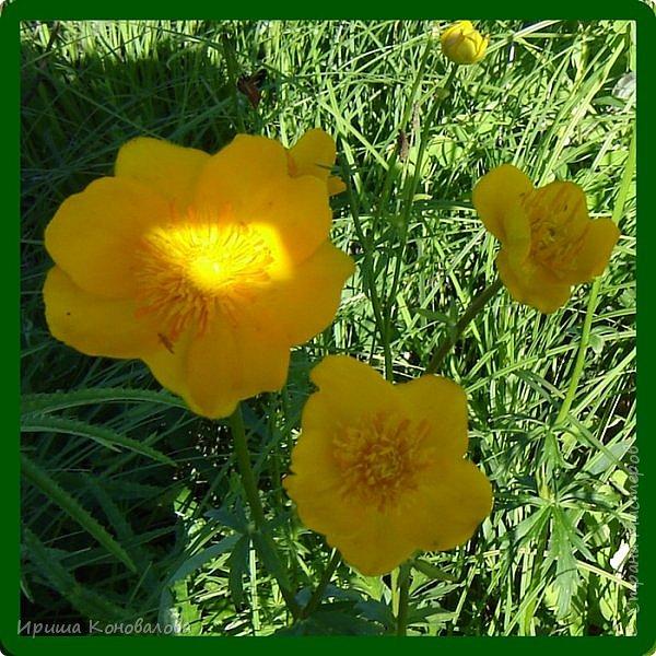 Желтые лилии...Много, красиво... фото 13
