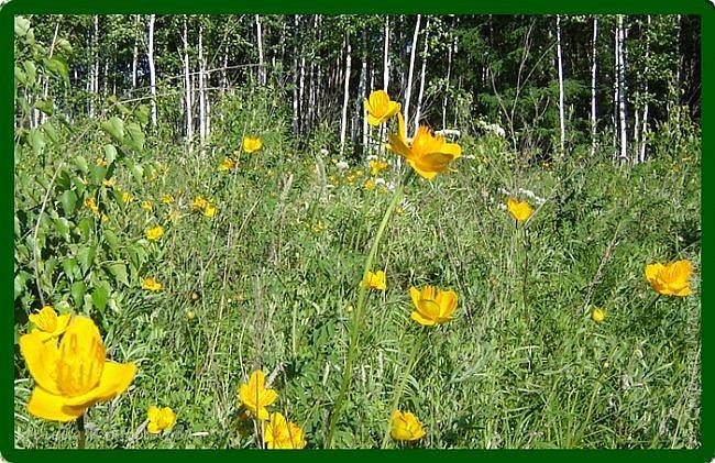 Желтые лилии...Много, красиво... фото 14