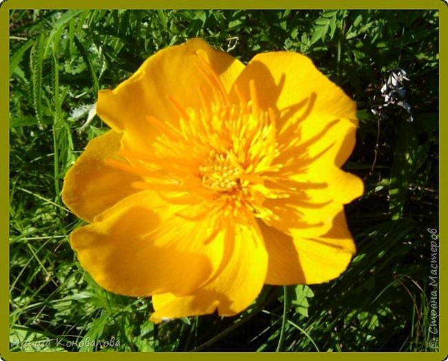 Желтые лилии...Много, красиво... фото 15