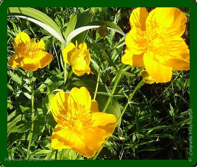 Желтые лилии...Много, красиво... фото 12