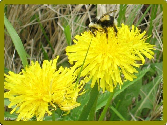 Желтые лилии...Много, красиво... фото 20