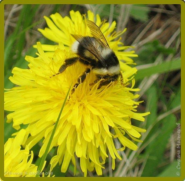 Желтые лилии...Много, красиво... фото 18