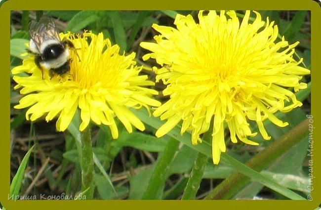 Желтые лилии...Много, красиво... фото 21
