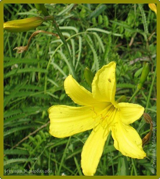 Желтые лилии...Много, красиво... фото 7