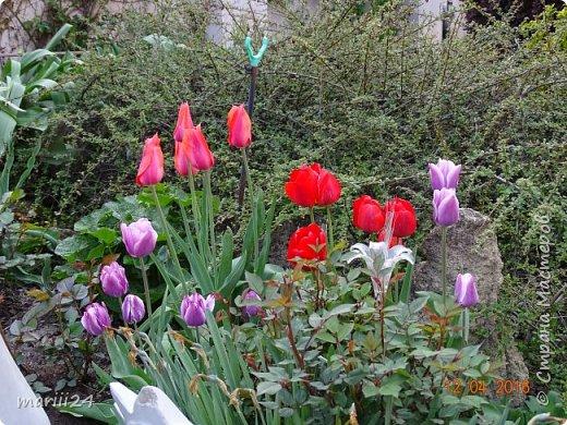 В этом году к нам весна пришла пораньше (недельки на 2). В палисаднике и в саду красота необыкновенная. Тюльпаны разошлись не на шутку: фото 10