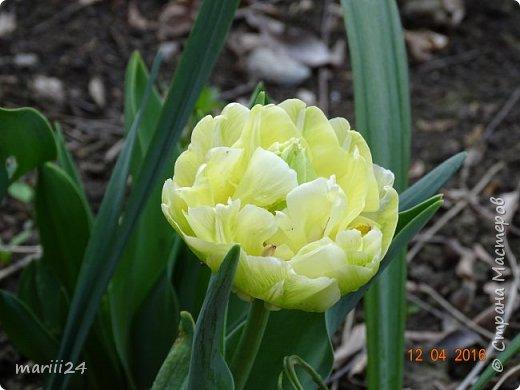 В этом году к нам весна пришла пораньше (недельки на 2). В палисаднике и в саду красота необыкновенная. Тюльпаны разошлись не на шутку: фото 9