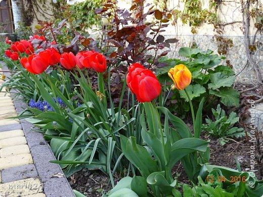 В этом году к нам весна пришла пораньше (недельки на 2). В палисаднике и в саду красота необыкновенная. Тюльпаны разошлись не на шутку: фото 8
