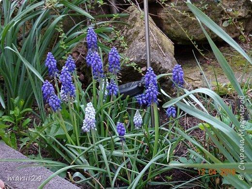 В этом году к нам весна пришла пораньше (недельки на 2). В палисаднике и в саду красота необыкновенная. Тюльпаны разошлись не на шутку: фото 11