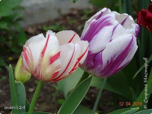 В этом году к нам весна пришла пораньше (недельки на 2). В палисаднике и в саду красота необыкновенная. Тюльпаны разошлись не на шутку: фото 7
