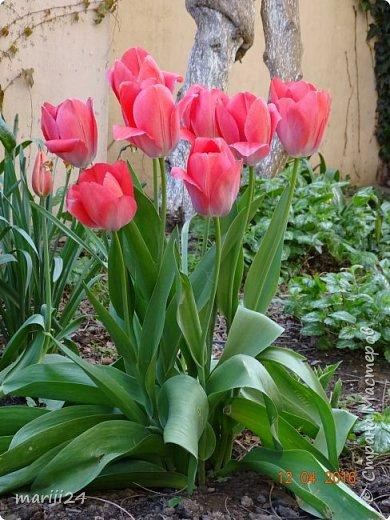 В этом году к нам весна пришла пораньше (недельки на 2). В палисаднике и в саду красота необыкновенная. Тюльпаны разошлись не на шутку: фото 6