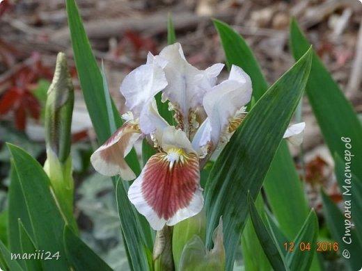 В этом году к нам весна пришла пораньше (недельки на 2). В палисаднике и в саду красота необыкновенная. Тюльпаны разошлись не на шутку: фото 12